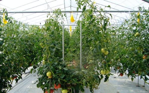 萩アグリは冬春トマトの栽培に向け、試験栽培に取り組んでいる(山口県萩市)