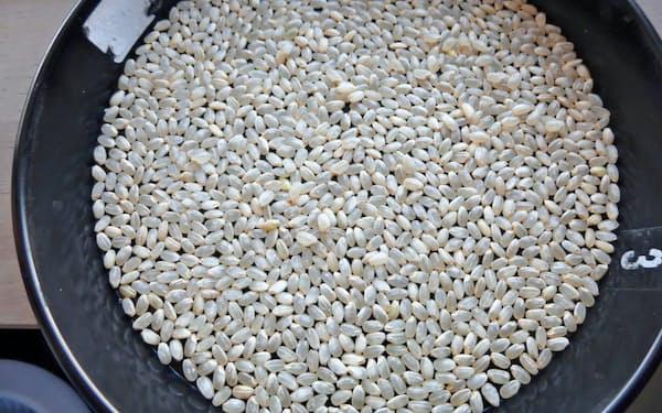 19年産の新潟コシヒカリは形が整った米粒が少ない三等の比率が高い