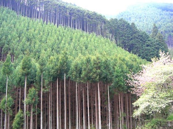 丁寧に枝打ちされた幹がまっすぐ伸びている(京都市北区)=京都市林業振興課提供