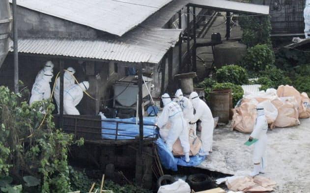 飼育豚が豚コレラに感染した養豚場で、殺処分作業をする自衛隊員ら(8日、沖縄県うるま市)=共同