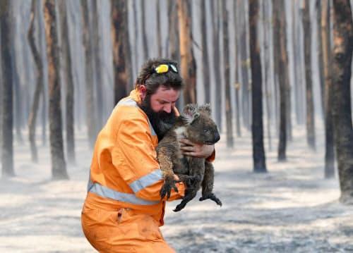 7日、オーストラリア南部のカンガルー島でコアラを助ける動物保護専門家(AAP通信提供)=ロイター