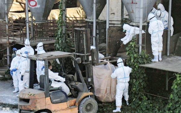 飼育豚が豚コレラに感染した沖縄県うるま市の養豚場で、殺処分作業をする県職員ら(8日、小型無人機から)=共同