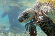 漁網に絡んで死んだウミガメ。プラスチックごみなどの汚染が海の生き物の脅威になっている(米海洋大気局提供)=共同