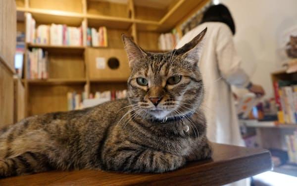 元保護猫のネコ店員が思索にふける(東京都世田谷区のキャッツミャウブックス)