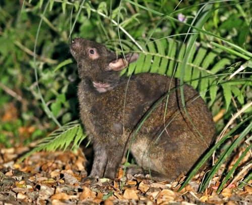アマミノクロウサギ(鹿児島県・奄美大島)=共同