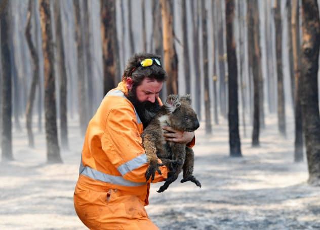 森林火災で救出されるコアラ(7日、豪カンガルー島)=AAP