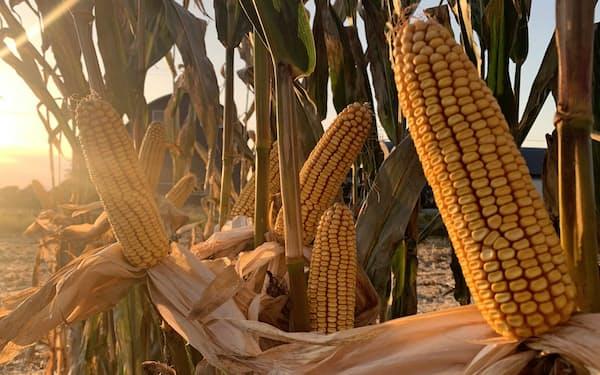 栽培効率が高い子実用トウモロコシ(写真提供:北海道子実コーン組合)