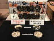 愛媛県は高水温などに強い耐性を持つ真珠養殖用アコヤガイを開発した