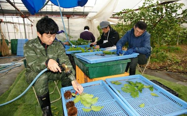 摘み取ったグアバの葉を洗浄する(高知県南国市の南国にしがわ農園)