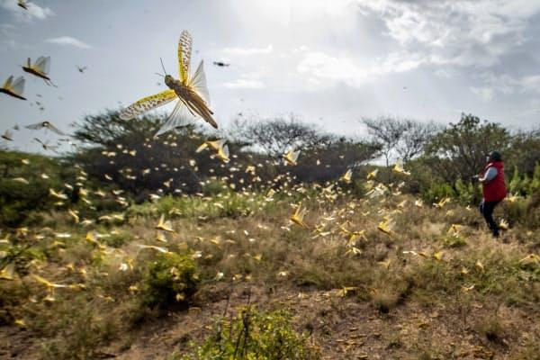 ケニアでバッタの大群が農作物を食い荒らしている(2月1日)=AP