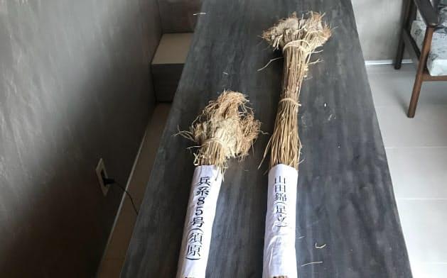 Hyogo Sake 85(左)は山田錦より丈が短い