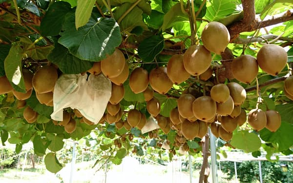 1本の木から最大3000個の東京ゴールドを収穫できる(三鷹市のキウイ畑)