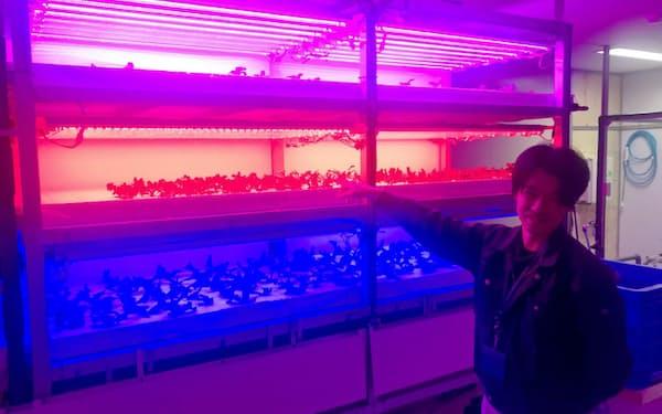 赤や青のLEDを組み合わせてリーフレタスやラディッシュを育てる