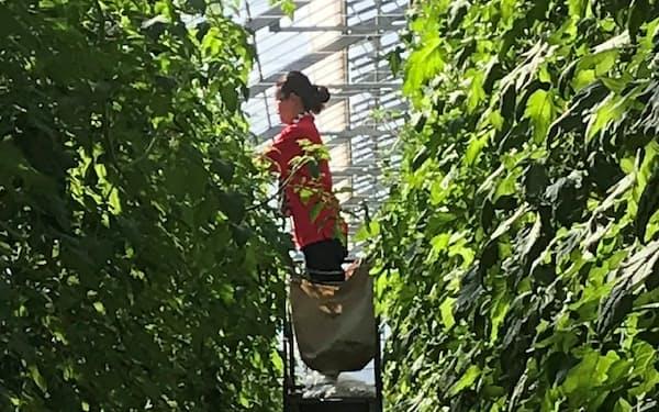 千葉市にはトマト栽培を手がける農業法人などが新規参入した