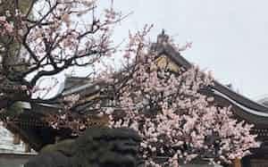 湯島天神の梅の花
