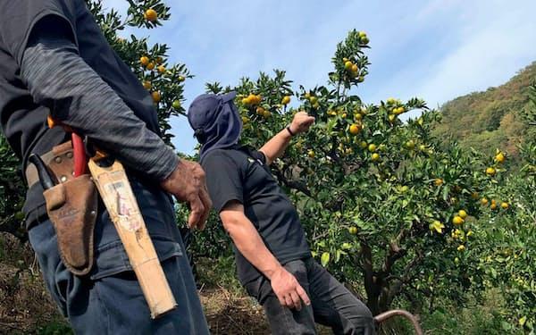 広島県ではドローンやセンサーを活用したレモン栽培の実証実験などが進められている