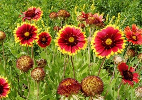 鹿児島県・喜界島に咲く、「特攻花」の異名を持つテンニンギク(喜界島観光物産協会提供)=共同