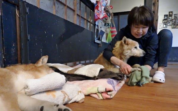 老犬の脚をタオルで拭うアスルの女性スタッフ(1月、福岡県古賀市)