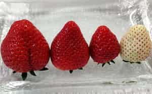 栃木県の様々なイチゴ。左からスカイベリー、栃木i37号、とちおとめ、ミルキーベリー(栃木県農業試験場いちご研究所、栃木市)