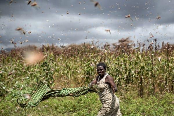 肩掛けを振り回してバッタの群れを追い払う農民(1月24日、ケニア)=AP