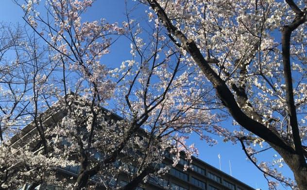 外務省の東南に咲く伊東桜