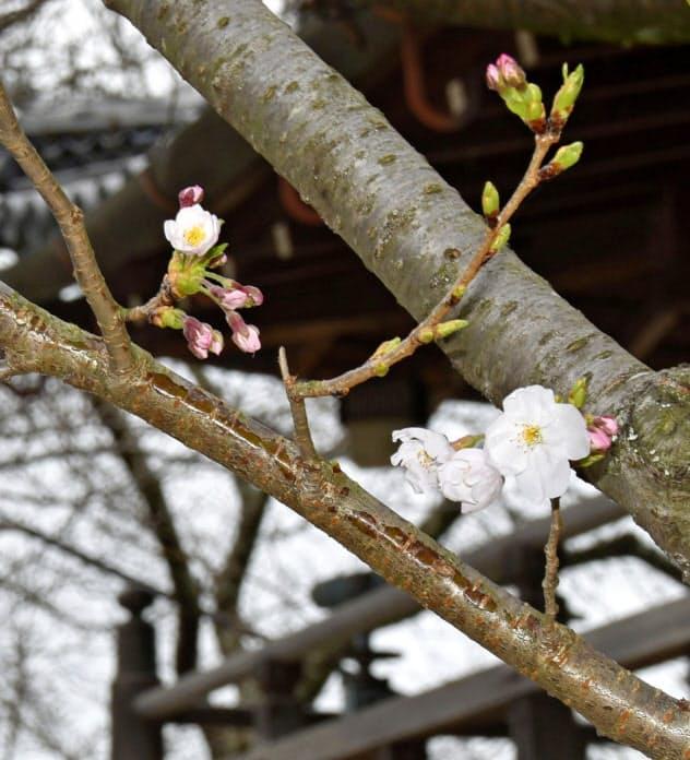 和歌山市の紀三井寺で開花したソメイヨシノ(22日午後)=共同