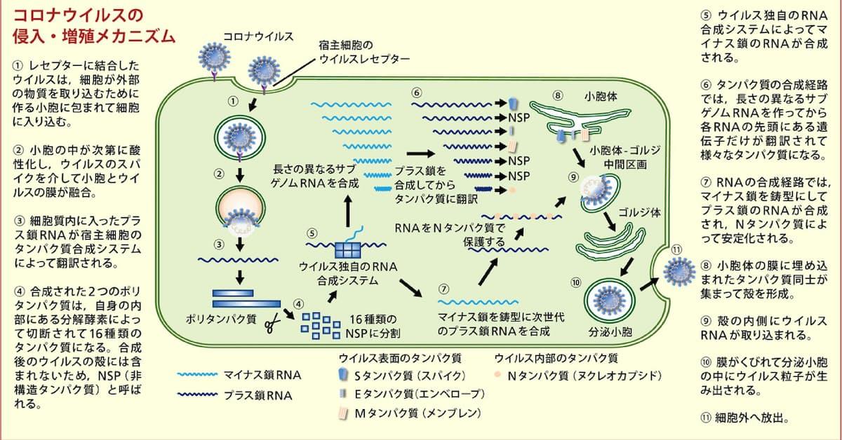イベルメクチンコロナ臨床