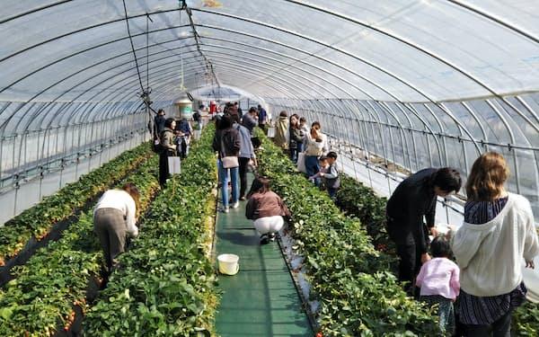 吉村農園はこれまでイチゴ狩りを楽しむ個人客でにぎわった(14日、栃木県益子町)