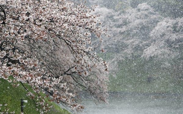 降り積もる雪と千鳥ケ淵の桜。都心でこの時期の積雪は珍しい(29日、東京都千代田区)