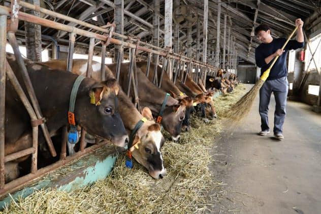従来のジャージー牛のほか、ホルスタイン牛も導入する(秋田県由利本荘市)