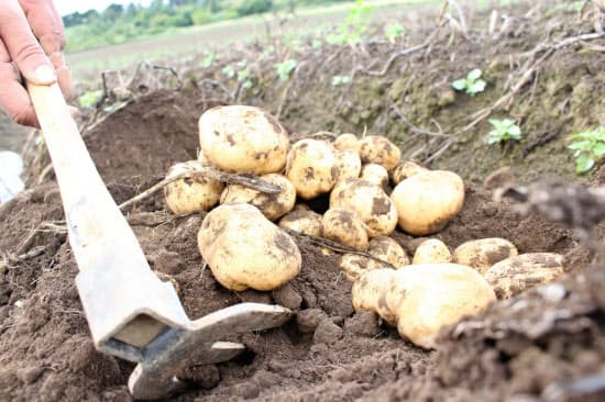 北海道産品のGI登録はジャガイモの今金男しゃくなどに続いて5品目目
