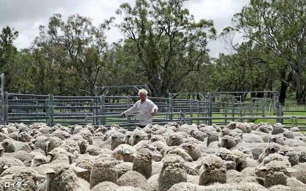 降雨の後、羊に囲まれる農場主(2月、豪ニューサウスウェールズ州)=ロイター