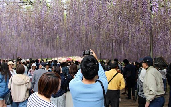 大藤が有名なあしかがフラワーパーク(2019年5月)
