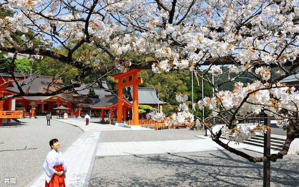 見頃を迎えた熊野那智大社の「秀衡桜」(16日、和歌山県那智勝浦町)=共同