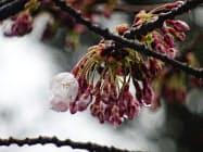 松前公園で開花したソメイヨシノ(20日)=北海道松前町提供、共同