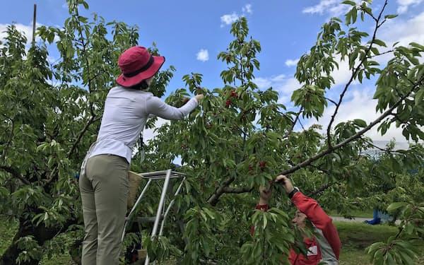 阪急交通社のツアー参加者(左)がサクランボを収穫(2019年6月、天童市の王将果樹園)