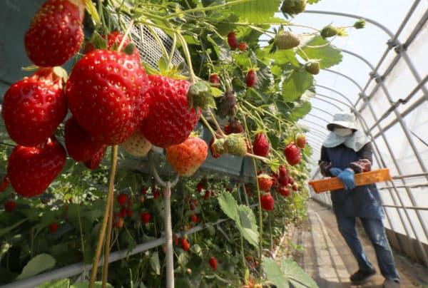 イチゴを摘む従業員の女性(25日午前、千葉県山武市)