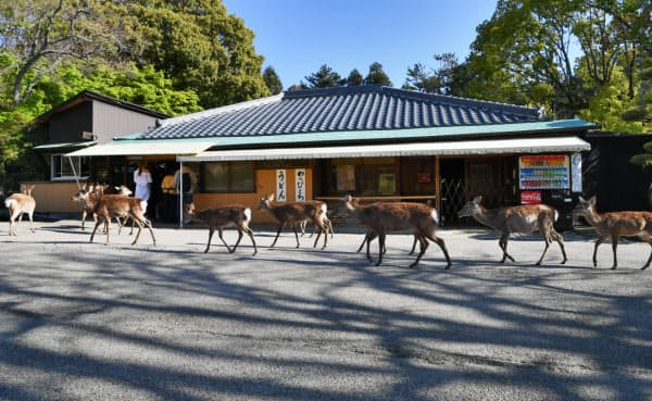鹿せんべいを販売する売店の前を並んで歩く奈良公園のシカ(25日午後、奈良市)
