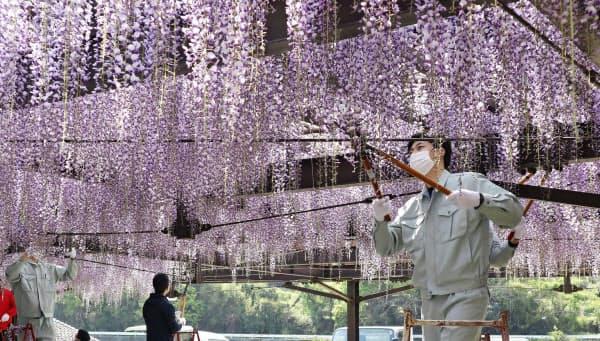 新型コロナウイルスの感染抑止のため刈り取られる「黒木の大藤」(28日、福岡県八女市)