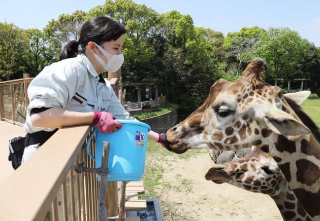 のんほいパークでキリンに餌を与える飼育員(4月、愛知県豊橋市)