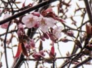 国内で最も遅い開花が観測された北海道稚内市のエゾヤマザクラ(10日、稚内地方気象台提供)=共同