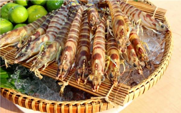 久米島で養殖されたクルマエビ(久米島漁協提供)