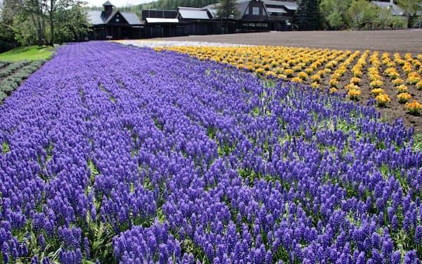 中富良野のラベンダー農園。天候に恵まれ今シーズンの花の生育は順調だが…(ファーム富田)