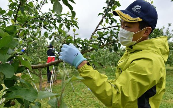 リンゴ園で摘果作業を手伝う福島大の学生(20日、福島県伊達市)