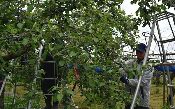 やまがたさくらんぼファームで働くホテルの調理担当、梅津広一さん(山形県天童市、写真の木はリンゴ)