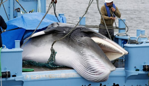 31年ぶりに商業捕鯨が再開され、釧路港に水揚げされたクジラ