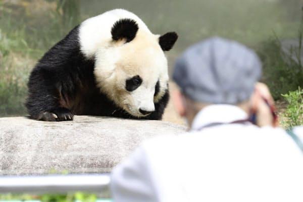 営業を再開した神戸市立王子動物園のジャイアントパンダの「タンタン」(1日午前)=共同