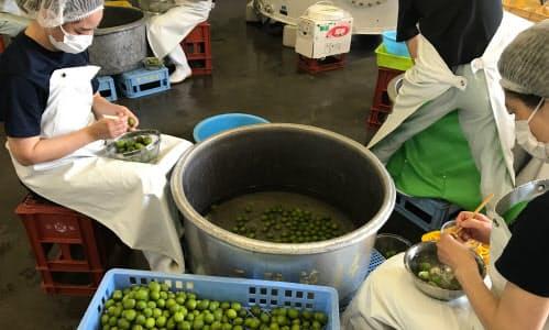 神戸酒心館では徳島県産の鶯宿梅(おうしゅくばい)を使って梅酒をつくる