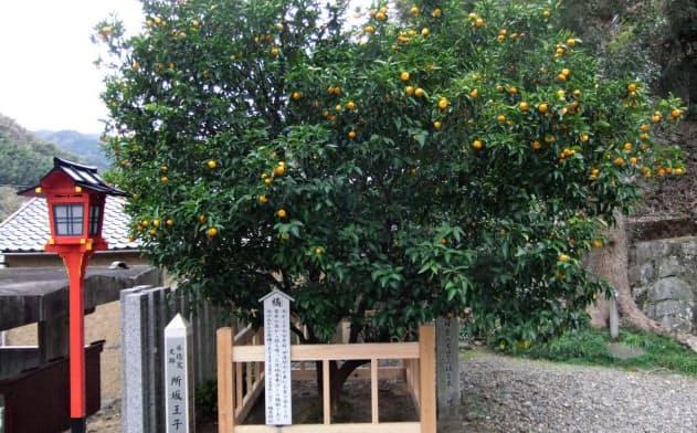 橘本神社にある橘の木