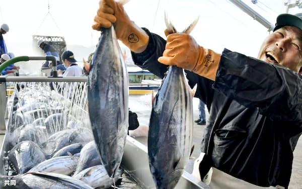 福島県いわき市の小名浜港に今シーズン初めて水揚げされたカツオ(12日午前)=共同